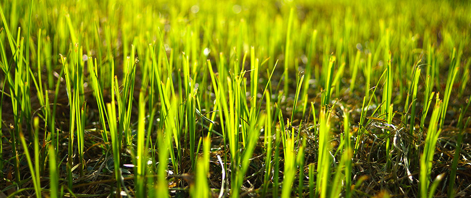 Should You Use Sod or Grass Seed for a New Lawn?