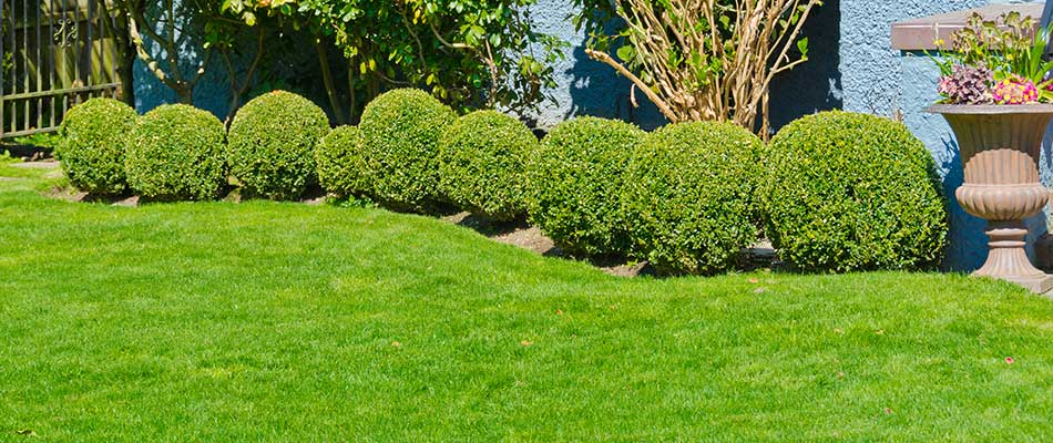 Recently trimmed shrubs in a yard near Sartell, MN.