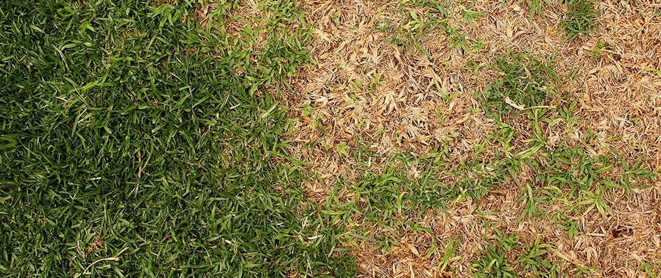 This lawn in Sartell is weak and suffering from disease.